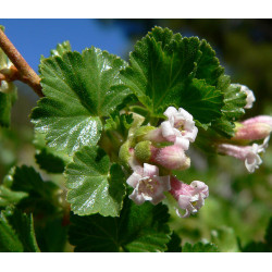 RIBES CEREUM  50 semences...