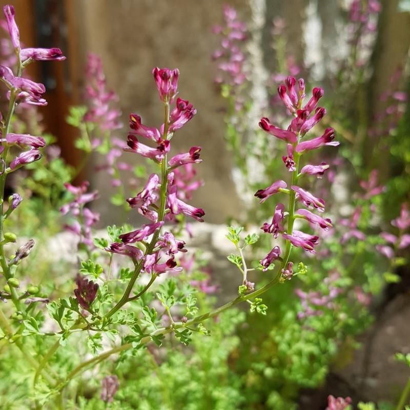 Fumaria officinalis Semences du Puy