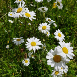 Leucanthemum vulgare Semences du Puy