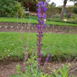 Salvia nemorosa Semences du Puy