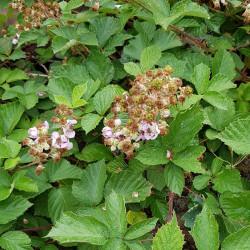 Rubus fruticosus Semences du Puy
