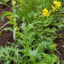 Brassica rapa japonica Semences du Puy