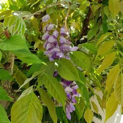 Wisteria sinensis Semences du Puy