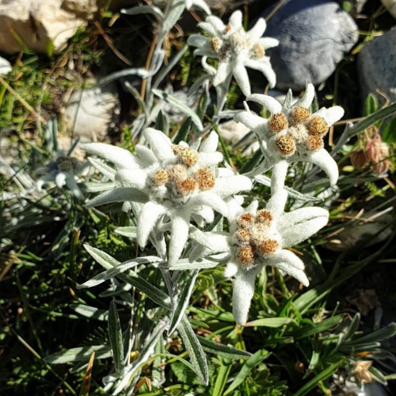 Leontopodium alpinum Semences du Puy