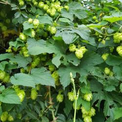 Humulus lupulus Semences du Puy