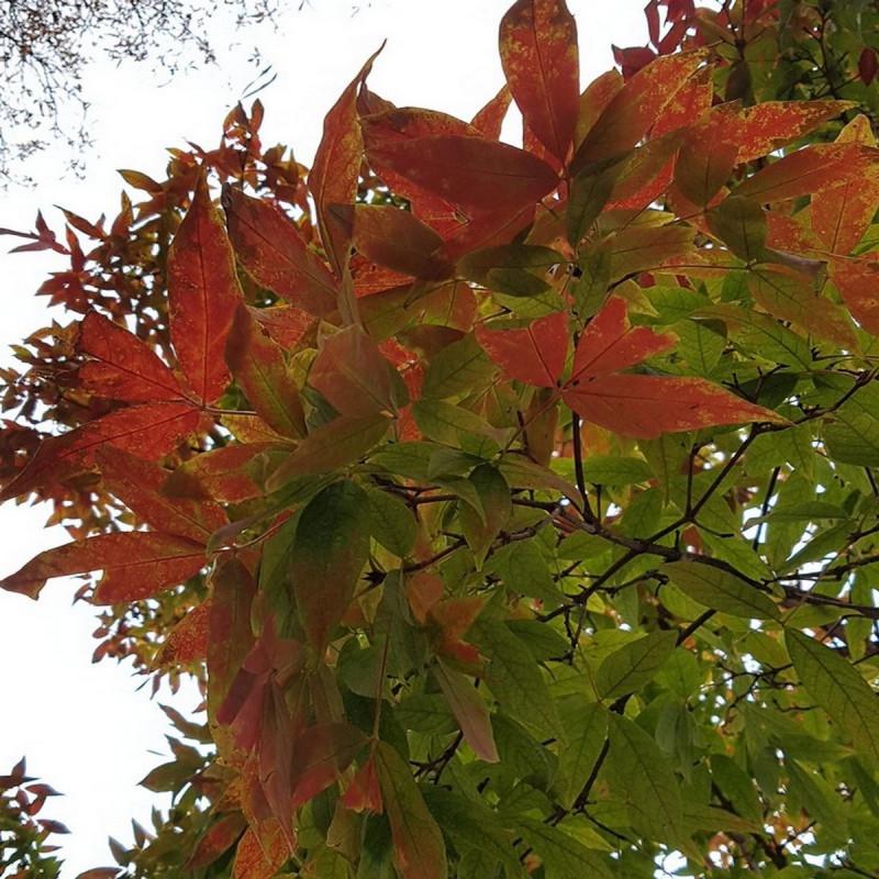 Acer triflorum Semences du Puy