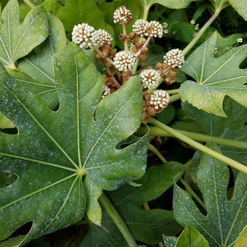 Fatsia japonica Semences du Puy