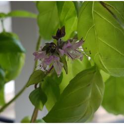 Ocimum basilicum Semences du Puy