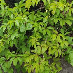 Parthenocissus quinquefolia Semences du Puy