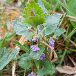 Glechoma hederacea Semences du Puy
