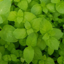 Mentha viridis Semences du Puy