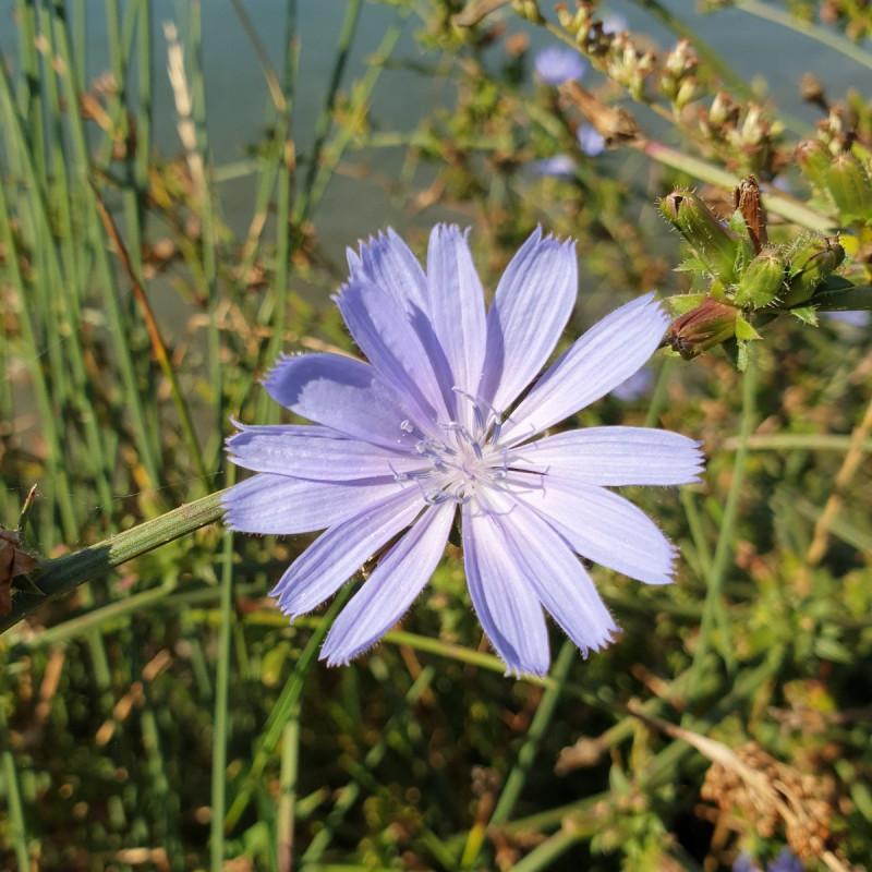 Cichorium intybus Semences du Puy