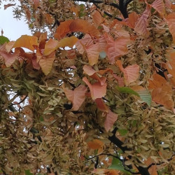 Acer davidii Semences du Puy
