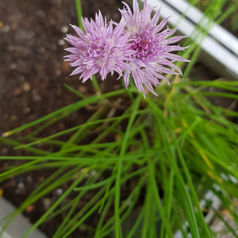 Allium schoenoprasum Semences du Puy