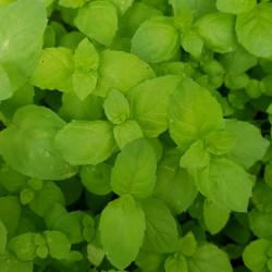 Mentha viridis 2 Semences du Puy