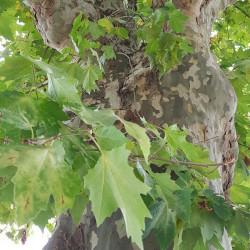Platanus acerifolia Semences du Puy