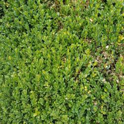 Buxus sempervirens Semences du Puy