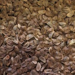 Graines Stewartia monadelpha Semences du Puy