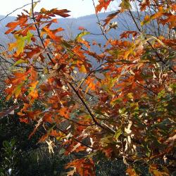 Quercus falcata var. pagodifolia