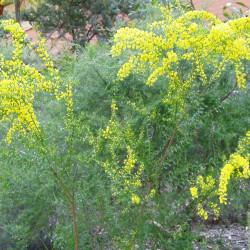 Acacia acinacea par Dlanglois  de Wikimedia commons