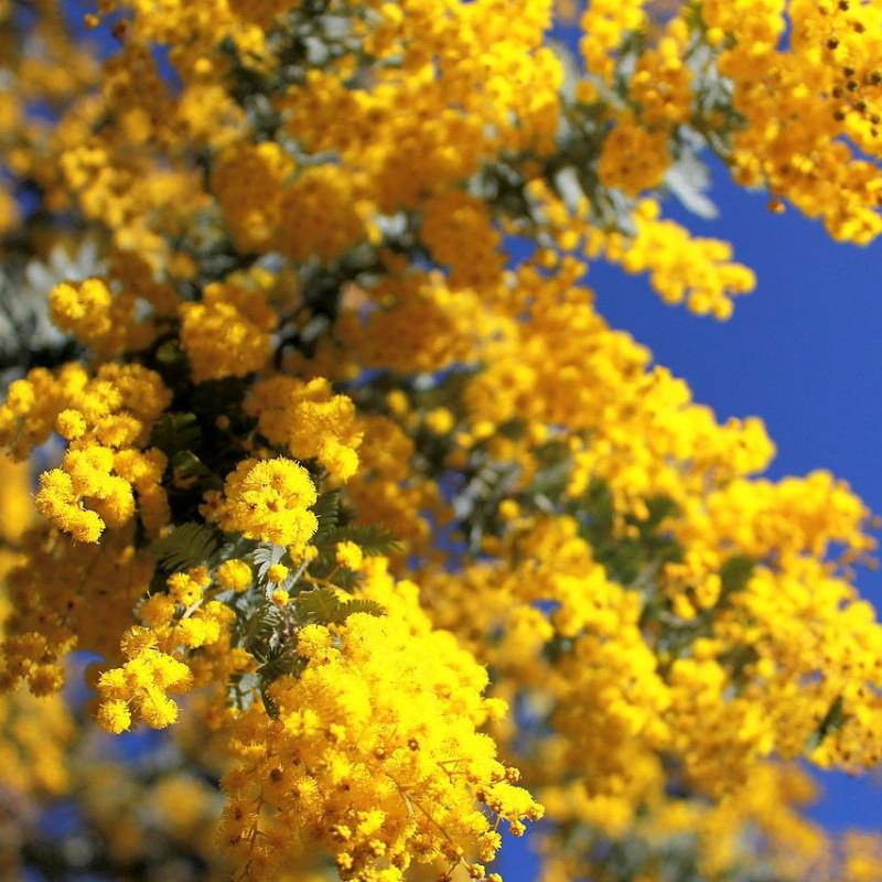 Acacia baileyana par Thennicke de Wikimedia commons