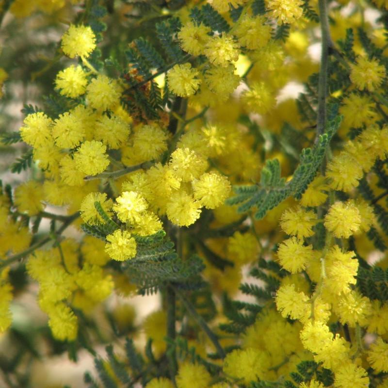 Mimosa de Wyalong par Melburnian de Wikimedia commons