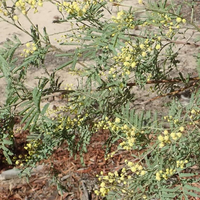 Mimosa de Deane