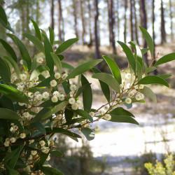 Mimosa à bois noir
