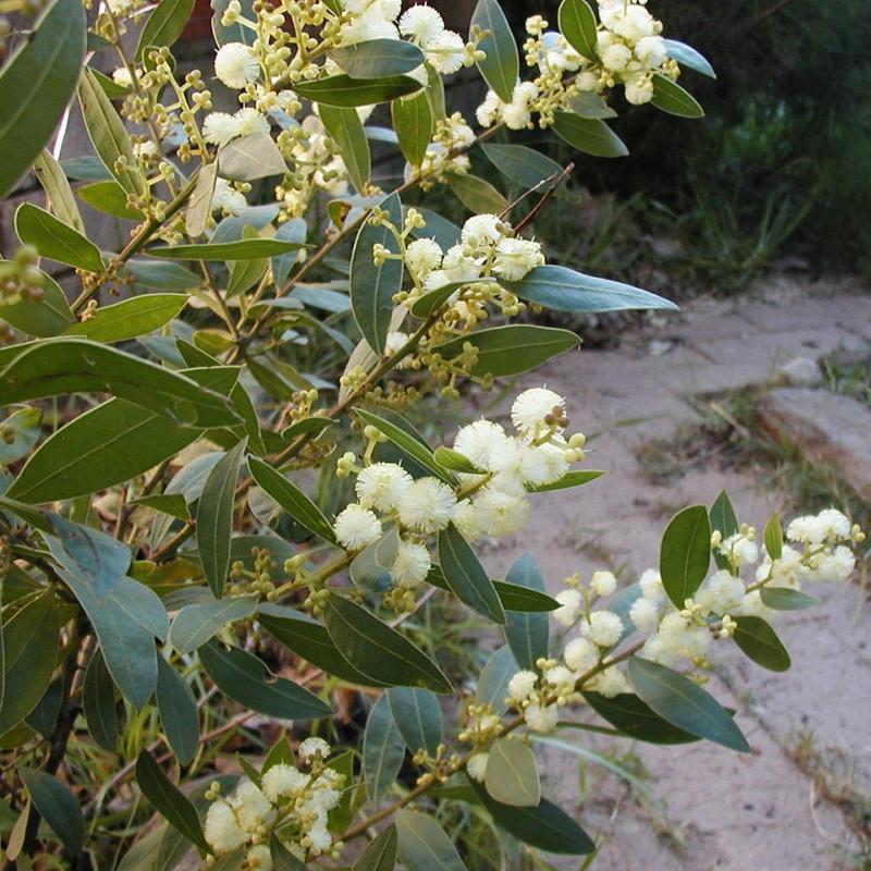 Mimosa à feuilles de Myrte