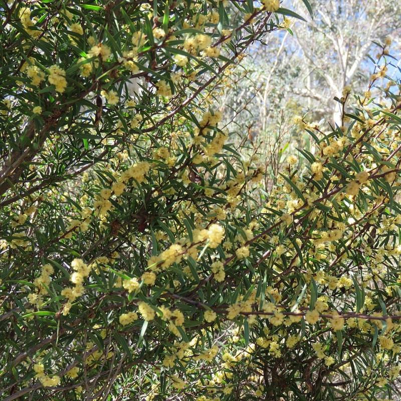 Mimosa dague par Donald Hobern de Copenhague, Danemark de Wikimedia commons