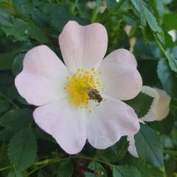 Rosa canina Semences du Puy