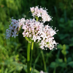Valeriana officinalis Semences du Puy