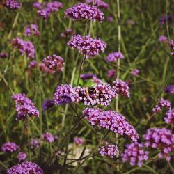 Verbena bonariensis par Liana Gori de Pixabay