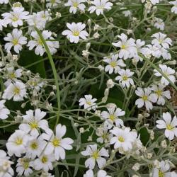 Cerastium tomentosum Semences du Puy
