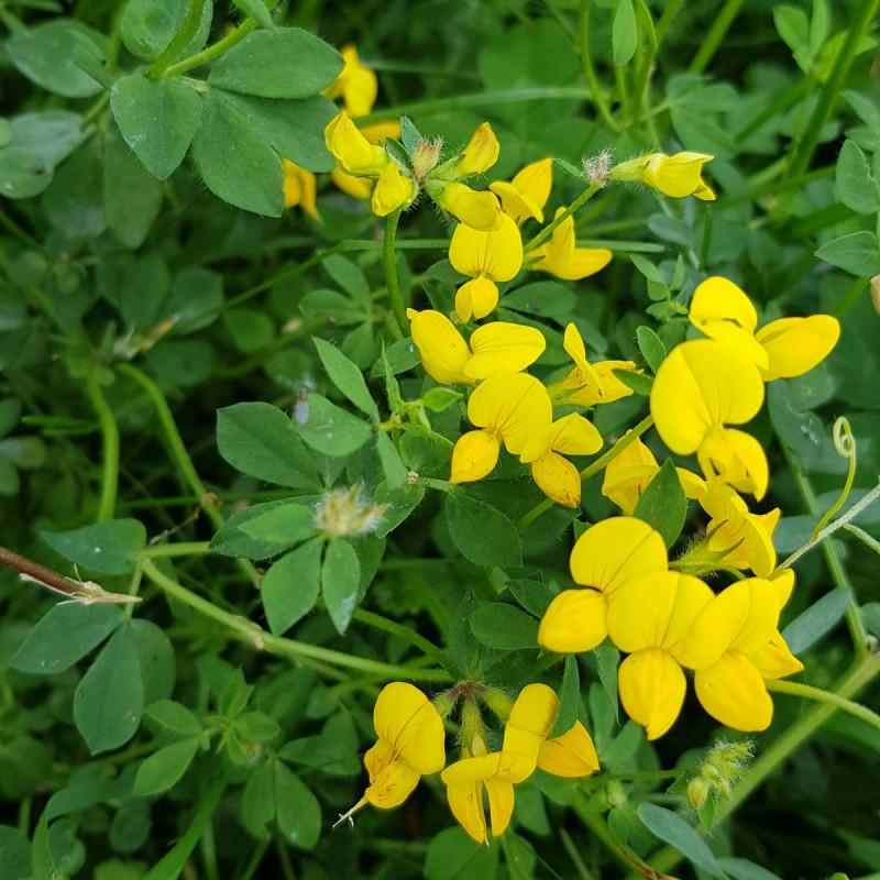 Lotus corniculatus Semences du Puy