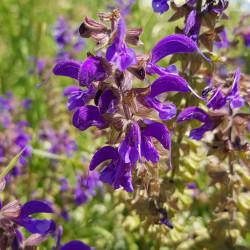 Salvia pratensis Semences du Puy