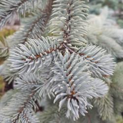 Picea pungens glauca Semences du Puy