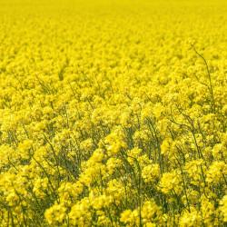 Brassica napus par Willfried Wende de Pixabay