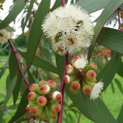 Eucalyptus pauciflora
