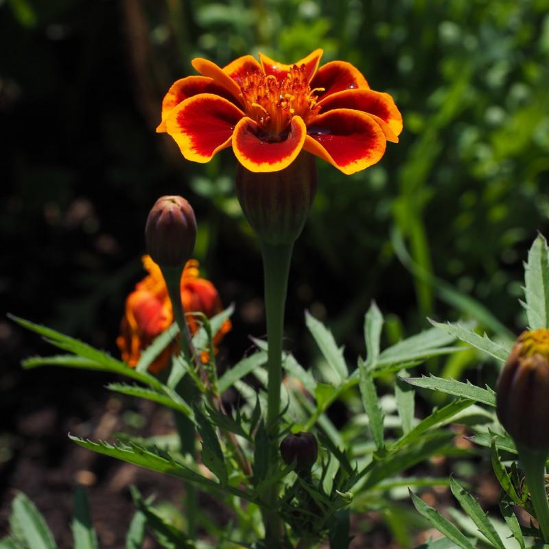 Tagetes tenuifolia par Hans Braxmeier de Pixabay
