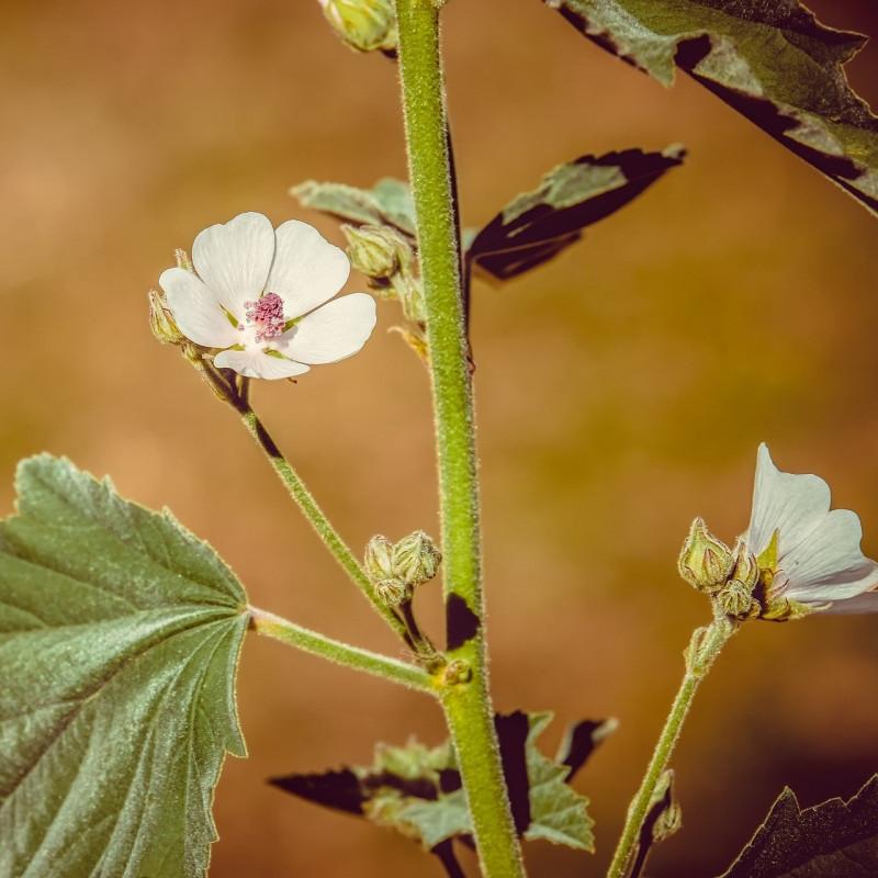 Althaea officinalis par Couleur de Pixabay