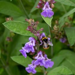 Salvia officinalis par Michaela Wenzler de Pixabay