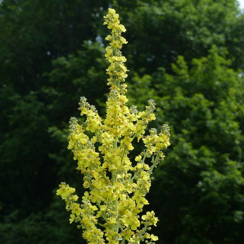 Verbascum densiflorum par Hans Braxmeier de Pixabay