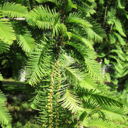 Metasequoia glyptostroboides par WikimediaImages de Pixabay
