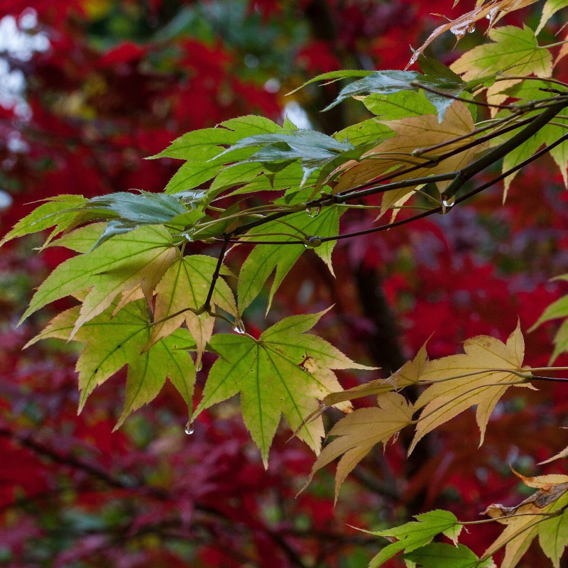 Acer japonicum par Thanks for your Like • donations welcome de Pixabay