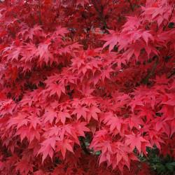 Acer japonicum par S B de Pixabay