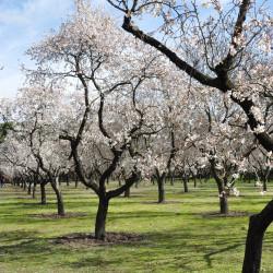 Prunus amygdalus var dulcis par Cristina MM de Pixabay