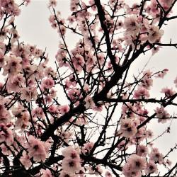 Prunus amygdalus var dulcis par Mylene2401 de Pixabay
