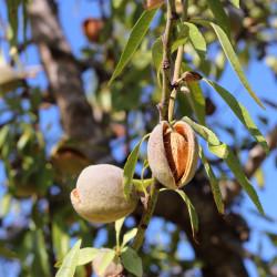 Prunus amygdalus var dulcis par Josevi Parra de Pixabay