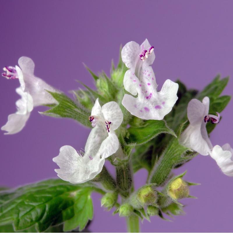 Nepeta cataria citriodora par Ian Lindsay de Pixabay